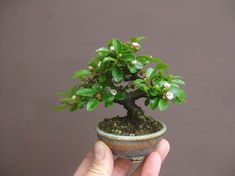 Fun And Eco-Helpful Solutions To Remodel Your Yard This Is A Shito Or Finger Size Bonsai Which Is The Second To The Smallest Classification Of Bonsai By Size. As should be obvious It Is Easily Held By The Fingers Hence The Name Shito. Terrarium Plants, Bonsai Plants, Bonsai Garden, Bonsai Tree Care, Bonsai Art, Easy To Grow Houseplants, Mame Bonsai, Plantas Bonsai, Minis