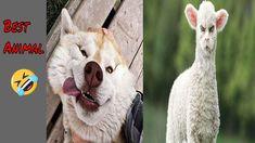 @bestanimal #funny 🤣 Funniest Animals Vines 2020- Try Not To Laugh - Bes... Funniest Animals, Funny Animals, The Funny, Funny Animal Vines, Try Not To Laugh, Funny Fails, Funny Videos, Goats, Funny Animal Videos