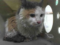PICHOUN - A1041971 - - Manhattan  ***TO BE DESTROYED 07/06/15*** PICHOUN is a diamond in the rough, and all she needs is a little love and care and tenderness. PICHOUN is ten years old, and was found in the Bronx, and it's obvious this gentle girl was someone's cat and needs you tonight. Do you know there have been 34 cats killed this past week at ACC? Cats like PICHOUN due to their age are at highest risk, and yet, this sweetheart is a lovely girl who could eas