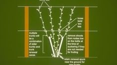 modified munson vine training system   Instant Video Play > The Lyre Training System for Grapevines Grape ...