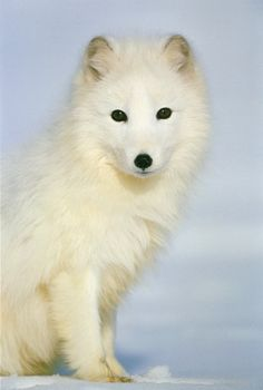 Arctic Foxes - interactive listen and read book, nonfiction