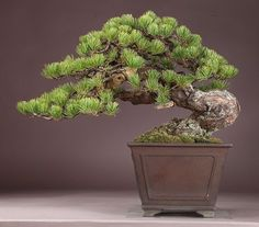 Bonsai.  This bonsai is great inspiration for my five needle pine.