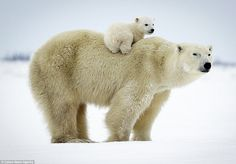 polar bear cub gets a lift in set of heartwarming images David Jenkins has spent 10 years documenting the bond between mother polar bears and their.David Jenkins has spent 10 years documenting the bond between mother polar bears and their. Nature Animals, Animals And Pets, Funny Animals, Cute Animals, Animals And Their Babies, Wild Animals, Mother And Baby Animals, Wildlife Nature, Baby Polar Bears
