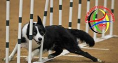 The IFCS World Agility Championships 2012 was held in the United States of America and the USA Team was the winner. Corgi, America, News, Animals, Corgis, Animales, Animaux, Animal, Animais