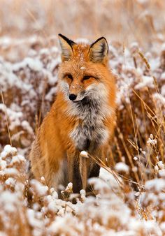 Red Fox in Snowy Field