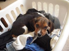 My Beagle :D Sophia!