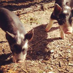 This little piggy stole my heart! @beachplumfarm