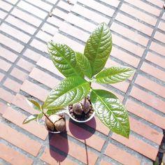 酪梨 ⚫ 礫耕種子盆栽 ─ 從成熟的酪梨中取出種子並充分清洗,種子尖端朝上、基部浸水,每週換水。浸泡 2 ~ 3wk 發根。碗中先放入約 1/3 的發泡煉石。其他礦物介質亦可。將發根的酪梨種子,輕輕放上去。再填入些許的發泡煉石。平時視發泡煉石的含水量,添加或更換水分。 Green, Plants, Plant, Planets
