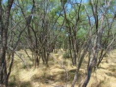"""""""Mesquite thickets like this one grow on about 10 million acres in Texas and could be a potential biofuel source.""""  This article is about a project at Texas A & M to produce bioenergy gases from mesquite and redberry juniper.  From Dr. Jim Ansley: """"Right now, they're perceived as noxious plants that are detrimental to rangeland ecosystems."""""""