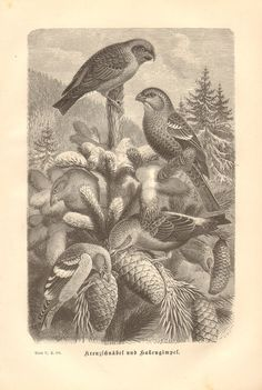 1879 Finches, Pine Grosbeak- Pinicola enucleator and Red Crossbill - Loxia curvirostra Original Anti Pine, Finches, Landscape, The Originals, Rugs, Antiques, Unique Jewelry, Handmade Gifts, Painting