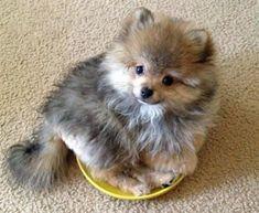 Merle Pomeranian #pomeranian