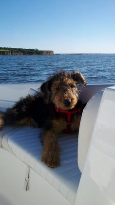 Airedale Puppy on the high seas. Beautiful day out.
