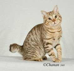 American Bobtail - Click image to find more Animals Pinterest pins