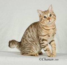 American bobtail pisica