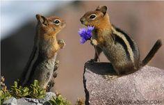 Chipmunk love...  #AnimalsInLove #AnimalCouples #Chipmunks #ChipmunksInLove