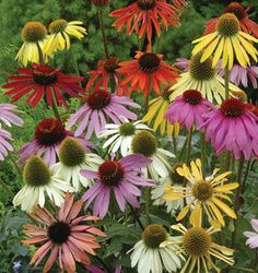 Perennial Flowers: Border, Sun, Shade Perennial Plants, Seeds - Burpee