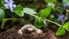 Mole activity can wreak havoc in the yard, not because they eat up everything but because their tunnels are often used by other burrowing pests and may uproot plants. Learn how to control moles here. Bug Control, Pest Control, Mole Repellent, Flea Spray, Natural Pesticides, Bees And Wasps, Pest Management, Beneficial Insects, Humming Bird Feeders