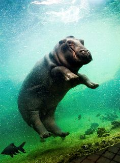 diving hippo
