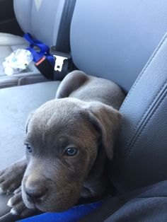 San Rocco Cane Corso Puppies For Sale Blue Cane Corso Puppies, Puppies For Sale, Dogs And Puppies, Akc Dog Shows, Cane Corso Breeders, San Rocco, Dog Diet, Lap Dogs, Therapy Dogs