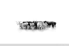 Photos of Nguni Cattle at Lake Sibaya by Guy Upfold Cattle, Wall Collage, Moose Art, Photo Wall, Black And White, Abstract, Pictures, Photos, Drawings