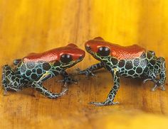 ☆ Poison Arrow Frogs, Dendrobates reticulatas, Peru :¦: Gail Melville Shumway Photography ☆