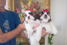 Shih Tzu Puppies For Sale. Some of the Most Beautiful Shih Tzus in the World! Shih Tzu For Sale, Maltipoo Puppies For Sale, Teacup Puppies, Cute Dogs And Puppies, Shih Poo, Shih Tzu Puppy, Shih Tzus, Shih Tzu Breeders, Teacup Shih Tzu