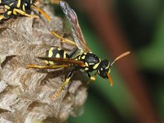 Dishonesty is aggressively punished in the world of paper wasps - https://scienceblog.com/485195/dishonesty-aggressively-punished-world-paper-wasps/