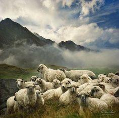 Trademark Fine Art 'The Silence Of The Lambs' Canvas Art by Istvan Kadar, Size: 24 x White Farm Animals, Animals And Pets, Cute Animals, Baa Baa Black Sheep, Gado, Sheep And Lamb, Counting Sheep, The Good Shepherd, Livestock
