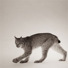 Canadian Lynx Study #2. it is interesting that this animal's hind quarters are so much higher than the forequarters.  Would like to know the evolutionary path that the Lynx's body took to bring this about.