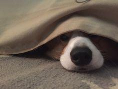 Under cover Corgi
