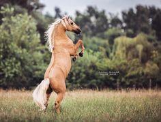 Playing with the wind. ____________________________________ #horselove #horsesofig #europaspferde #bestofequines #pferdeschoenheiten #equestrian #horseriding #horsephotography #pferdefotografie #pferdestars #equinephotography #equine #pferde #horsesofinstagram #horses_of_instagram #animalonplanet #horsestagram #pferdepost_123 #carinamaiwald #equus #americansaddlebred #saddlebred #palomino