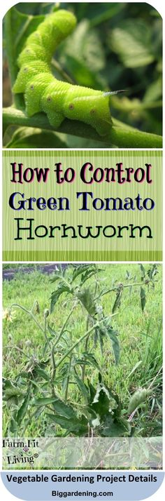 Growing Tomato Plants, Growing Tomatoes In Containers, Growing Vegetables, Garden Insects, Garden Pests, Herbs Garden, Hydroponic Gardening, Vegetable Gardening, Container Gardening