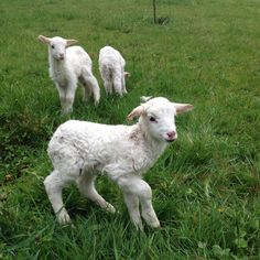 2 day old triplets -St. Croix Sheep - sweet