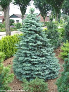 abies concolor compact archer's dwarf - Google Search
