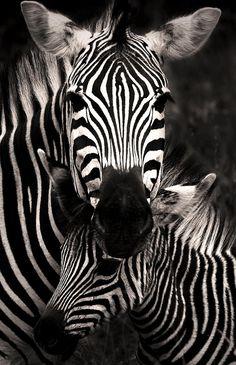 Zebra Love by Rudi Hulshof.phototoartguy: Zebra Love by Rudi Hulshof. Nature Animals, Animals And Pets, Baby Animals, Cute Animals, Wild Animals, Zebras, Beautiful Creatures, Animals Beautiful, Mundo Animal