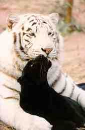white tiger and black panther. Ive always wanted to got a tattoo of these two big cats together. Beautiful Cats, Animals Beautiful, Wild Animals Photos, Tiger Love, Super Cute Animals, Wild Creatures, Jungle Animals, Exotic Pets, Big Cats
