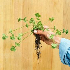 To pull or not to pull ~ Weed Identification Guide ~ Good pictures ~ many are useful for healing, such as plantain and dandelion