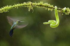 hummingbird and viper