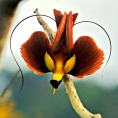 New Guinea Bird of Paradise. Photo by Ed Sholes, Nat Geo.