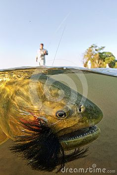 Photo about A Golden Dorado Underwatershot Taken in Northern Argentina - close to the paraguayan border. Image of bolivia, argentina, head - 24481779 Sport Fishing, Gone Fishing, Best Fishing, Dorado Fish, Fishing Photos, Salmon Fishing, Fish Camp, Big Fish, Goldfish