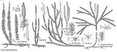 Illustration: Lycopodium clavatum