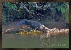 Crocodile will appear in our lives in many ways we may dream of him or just find the urge to visit the creature in the wild, this is a sign of crocodile coming to us as a spirit animal for guidance...