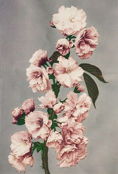 Flower 4. An early example of still-life photography in Japan. About 1890's,Tokyo, Japan. Photographer Kazumasa Ogawa.