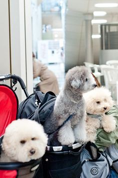 interpets2015 toypoodle, cream - silver - apricot
