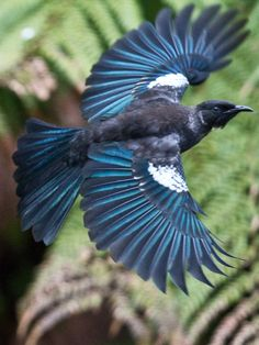 A Tui takes flight. It is an endemic passerine bird of New Zealand, and the largest species in the diverse Australasian honeyeater family. (Recent Photos The Commons Getty Collection Galleries World Map App) Pretty Birds, Love Birds, Beautiful Birds, Animals Beautiful, Exotic Birds, Colorful Birds, Tui Bird, Logo Template, Bird Wings