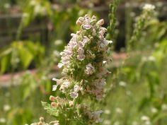 50 Seeds Catnip Seeds Cat mint Nepeta cataria Herbs Organic 1 Pack 50 Seeds ♫