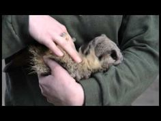 ▶ Meerkat laughs when it gets tickled