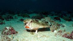 We went in search of the elusive Red-lipped Batfish. We spent lots of time searching and looking for it until we found it. Then we all went crazy taking pictures of the little guy.