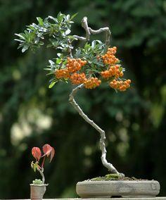 #Bonsai #tree