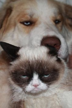 "{Grumpy Cat ""enjoying"" the dog's attention} hehe!!"